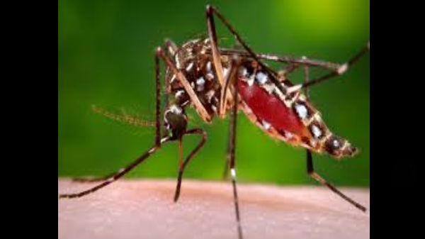 Aedes aegypti దోమ